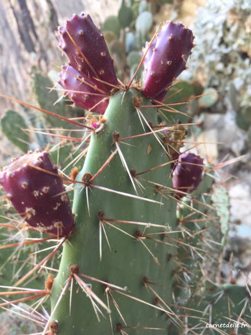 Cactus en fruit jardin des Dauphins