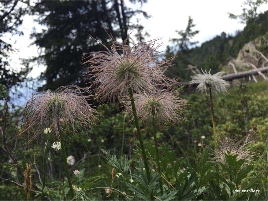 Fleur sauvage, Lac Achard
